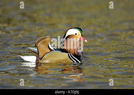 Mandarinenente Madarin Duck Drake Aix galericulata - Stock Photo