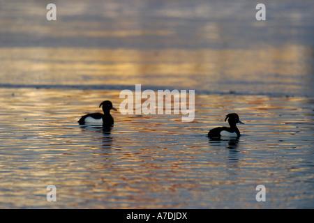 Zwei Reiherenten bei Abenddaemmerung Muenchen Deutschland Reiherente Tufted Duck Aythya fuligula Europe Europa - Stock Photo