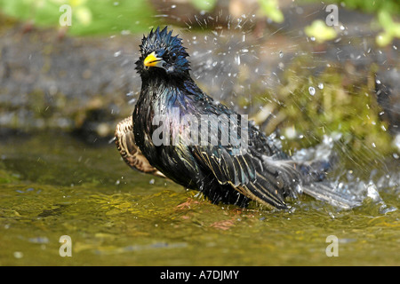 Star European Starling Sturnus vulgaris - Stock Photo