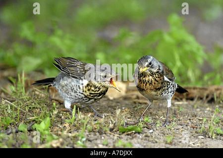 Wacholderdrossel Turdus pilaris Fieldfare Krummetvogel Europe Europa - Stock Photo