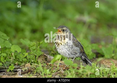 Wacholderdrossel Turdus pilaris Fieldfare Krummetvogel - Stock Photo
