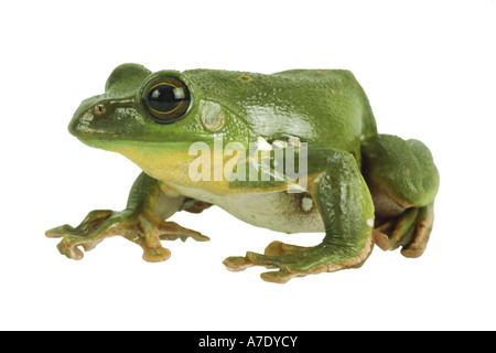 Blanford's whipping frog, asian gliding tree frog,  asian gliding treefrog (Rhacophorus dennysi) - Stock Photo