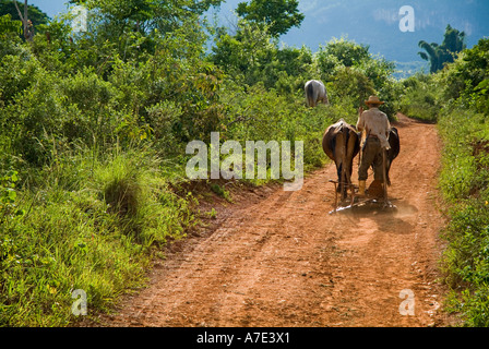 Cuban farmer riding his plough back from the fields with two cattle, Vinales Valley, Cuba. - Stock Photo