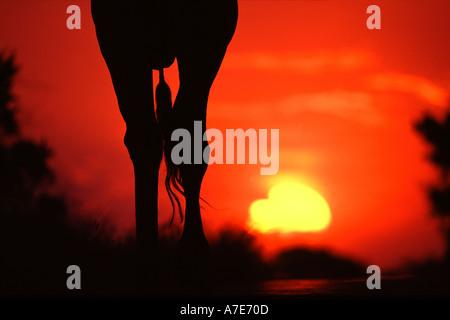 Giraffe Silhouette at African sunset - Stock Photo