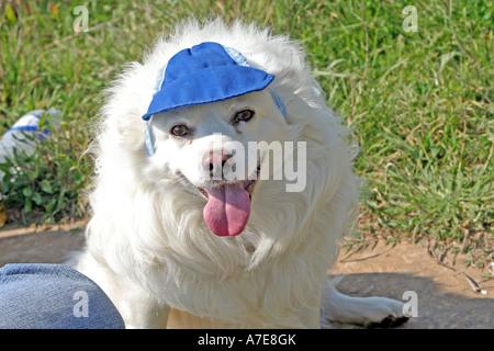 white Spitz wearing a blue cap - Stock Photo