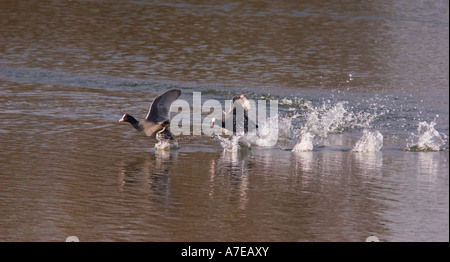 Two coots (fulica atra) running over a pond one after the other - Stock Photo