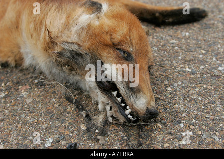 Road Kill dead fox after being run over on a road - Stock Photo