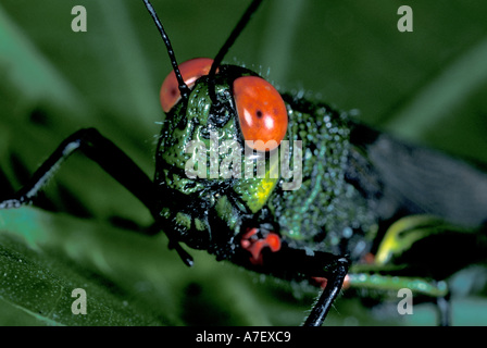 Central America, Panama, Barro Colorado Island. Red-eyed grasshopper - Stock Photo