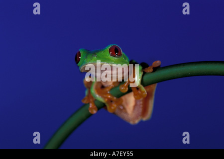 CA, Panama, Barro Colorado Island, frog portrait blue hour, red-eyed tree frog (Agalychnis callidryas) - Stock Photo