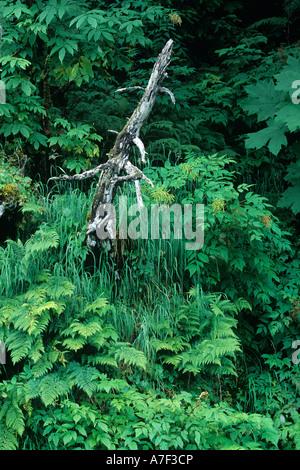 USA Alaska Chugach National Forest Lush rainforest growth near Portage Pass outside of coastal town of Whittier - Stock Photo