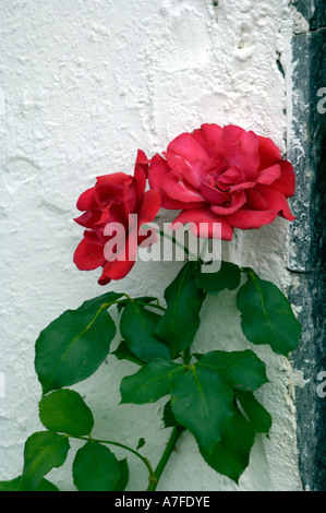 Red rose against a white painted wall - Stock Photo