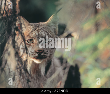 Lynx, Lynx canadensis, Denali National Park, Alaska,  Lynx in the wild - Stock Photo