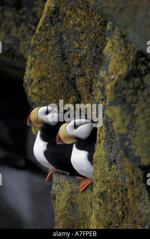 Alaska, St. Paul Island, The Pribilofs, horned puffins on a ledge of lichen on the sea bird cliffs - Stock Photo