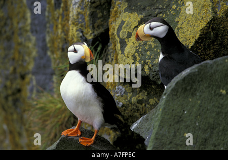 Alaska, St. Paul Island, the Pribilofs, horned puffins on the cliffs at Zapadni sea bird colony. - Stock Photo