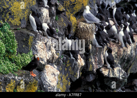 NA, USA, Alaska, Pribilofs, St. Paul Island, Kittiwakes, common murres and tufted puffins all nest together on the - Stock Photo