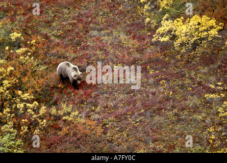 Grizzly Bear (Ursus horribilis) Denali National Park , AK - Stock Photo