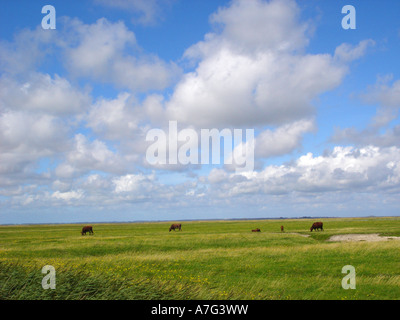 Flachland Wiesen weidende Kuehe lowland meadows pasturing cows - Stock Photo