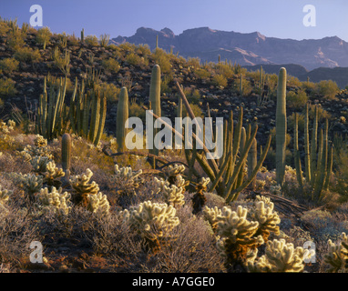 Organ Pipe National Monument, AZ, USA, Organpipe, saguaro, & cholla cactus in Sonoran Desert, Ajo Mountains - Stock Photo