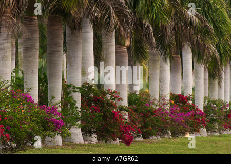 Cuban Royal Palms Roystonea Regia Arecaceae Growing In