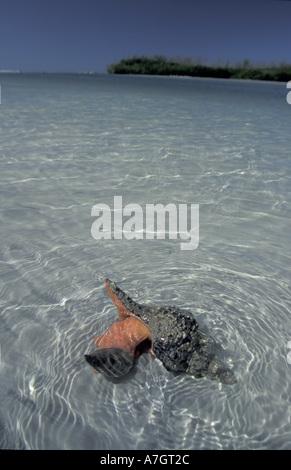 NA, USA, Florida.  Horse Conch feeding along shoreline (Pleuroploca gigantea) - Stock Photo