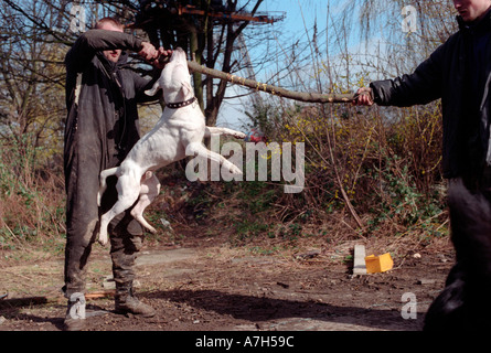 Man playing with Staffordshire terrier. - Stock Photo