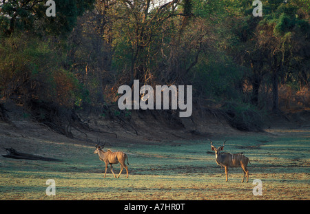 Common eland Tragelaphus Taurotragus oryx in a dry riverbed South Luangwa National Park Zambia - Stock Photo
