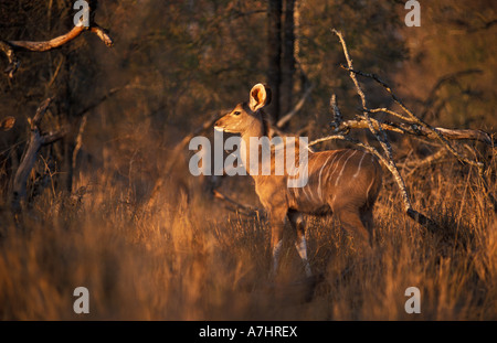 Nyala Tragelaphus angasi Hlane Royal National Park Swaziland - Stock Photo