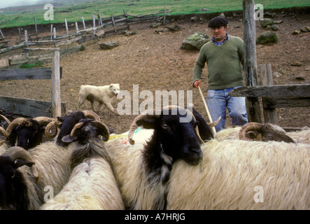 French Basque people man shepherd with dog and flock of sheep Pyrenees Mountains in the French Basque Country Esterencuby - Stock Photo