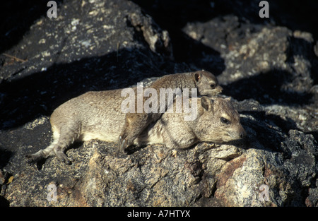 Rock hyrax with young Procavia capensis Hwange National Park Zimbabwe - Stock Photo