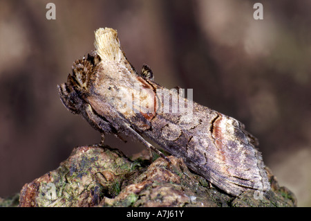 spectacle moth Abrostola tripartita - Stock Photo