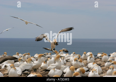 Gannets at Cape Kidnappers, New Zealand - Stock Photo