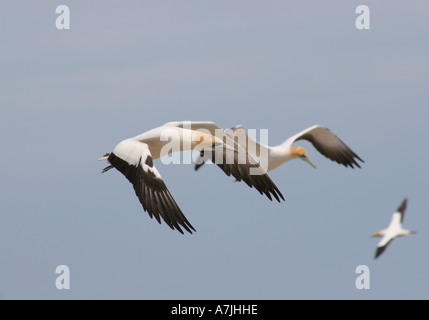 Gannet in flight at Cape Kidnappers, New Zealand - Stock Photo
