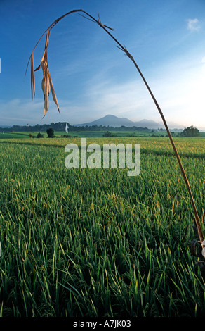 Rice fields at dawn Gunung Batukau in the distance Inland of Yeh Gangga Bali Indonesia Palm offering - Stock Photo