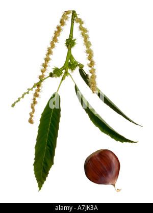 Sweet Chestnut male & female flower - Stock Photo