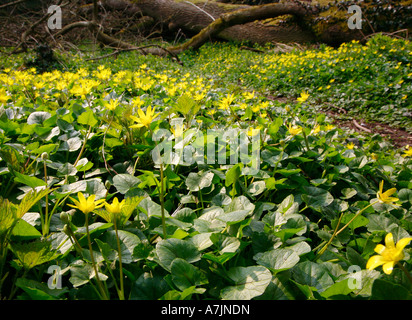Lesser Celandine Ranunculus ficaria growing in profusion on a woodland floor - Stock Photo
