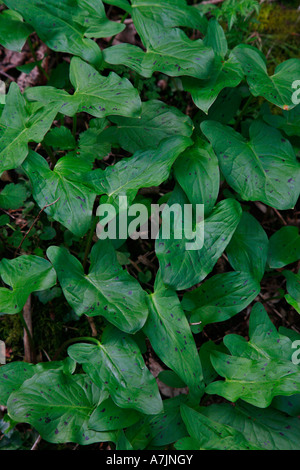 Lords and Ladies or Cuckoo Pint Arum maculatum with purple spotted leaves - Stock Photo