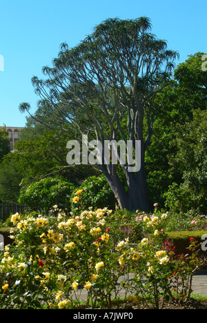 Quiver Tree and Yellow Rose Bushes in Companys Garden Cape Town South Africa - Stock Photo