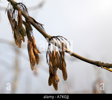 Fraxinus excelsior Ash Tree Seeds - Stock Photo