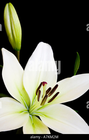 White lily, Liliaceae lilium, isolated against a black background with copy space - Stock Photo