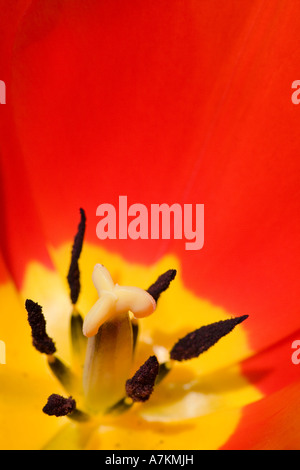 Red and yellow tulip - Stock Photo
