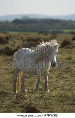 Wild Pony on Bodmin Moor UK - Stock Photo