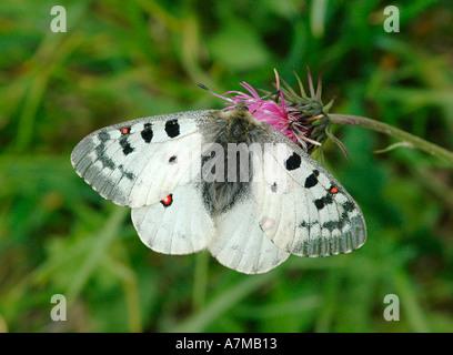 Apollo butterfly - Stock Photo