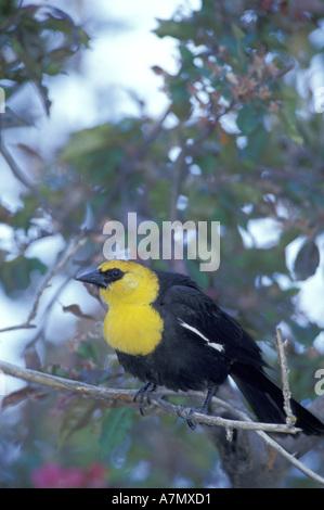 NA, USA, Oregon, Malheur NWR. Yellow-headed blackbird (Xanthocephalus xanthocephalus) - Stock Photo