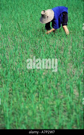 China, Guangxi province, Dong ethnic minority works in rice fields near Sanjiang village - Stock Photo