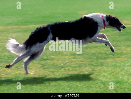 Barzoi (Canis lupus f. familiaris), running on meadow - Stock Photo