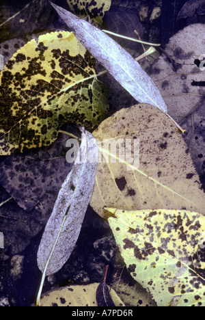 Autumn leaves floating in the Merced River Yosemite Valley Yosemite National Park California USA - Stock Photo