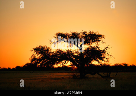 Sunset behind a silhouetted Camel thorn tree Acacia erioloba in the northern Park Kgalagadi Transfrontier park - Stock Photo