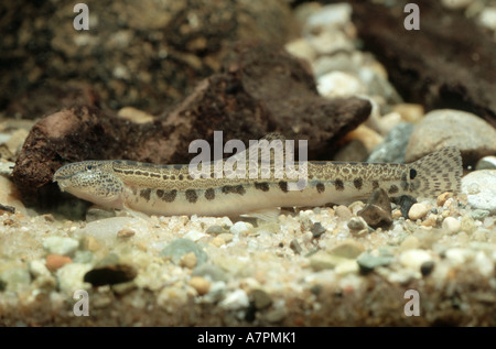 spined loach, spotted weatherfish (Cobitis taenia), lying on ground, Croatia - Stock Photo
