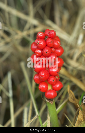 Wild Arum Berries in Autumn Plants - Stock Photo
