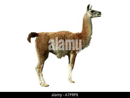 guanaco (Lama guanicoe), cutted out - Stock Photo